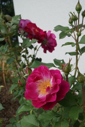 rose Blue Eden de Carruth