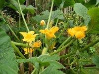 Quelques idées reçues à propos des semences paysannes