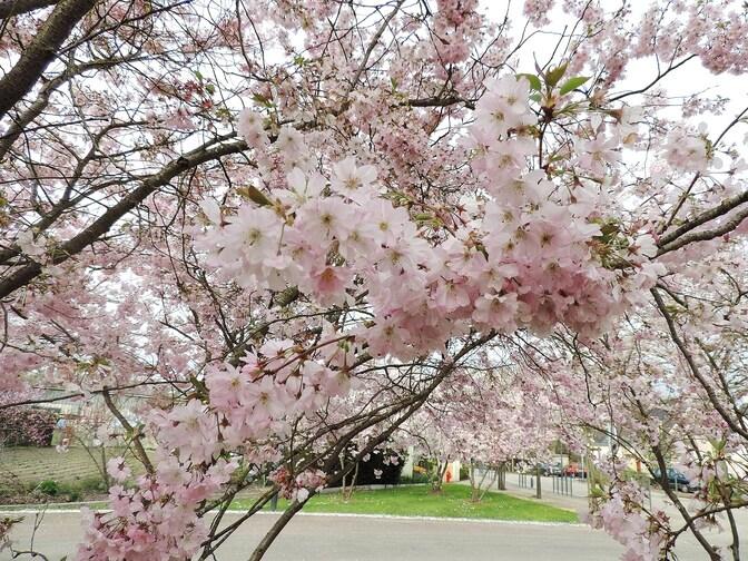 Cerisiers-fleurs en Brière...