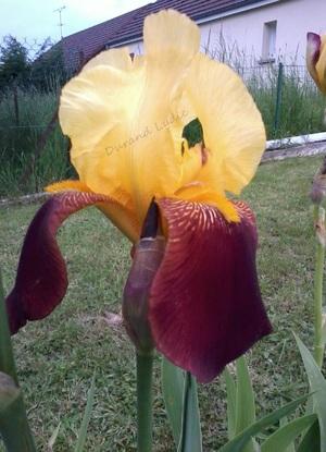 "Iris Germanica ""Agrippa"""