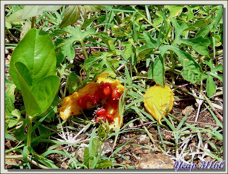 Fruits de Coccinia grandis - Huahine - Polynésie française