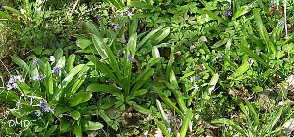 scillaliliohyacinthus