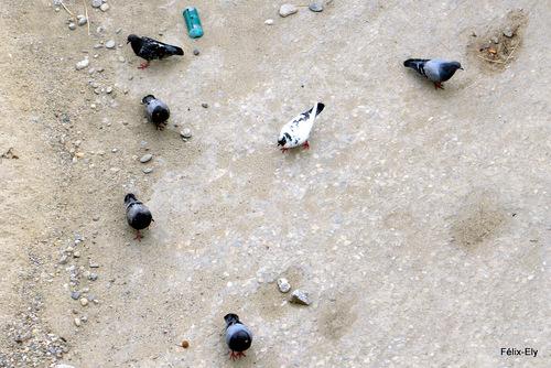 Le s pigeons...