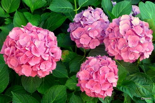 C'est du rose : hortensias et rosiers