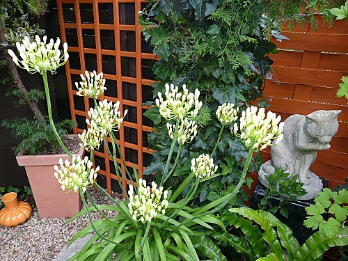 Agapanthes-blanches-en-boutons-27_06-11-016.jpg