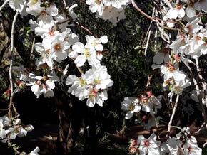 Fleurs d'amandiers.