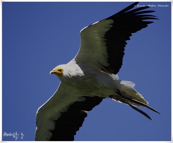 Vautour percnoptère - Neophron percnopterus - Egyptian Vulture