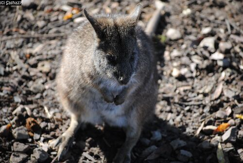 Wallaby de Parma