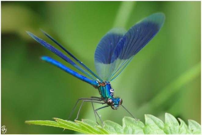 Macro - Calopteryx splendens © Brigitte Delibes