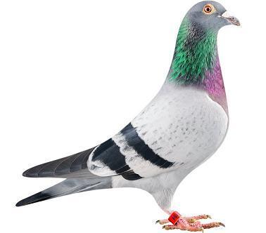 SMUF oiseaux