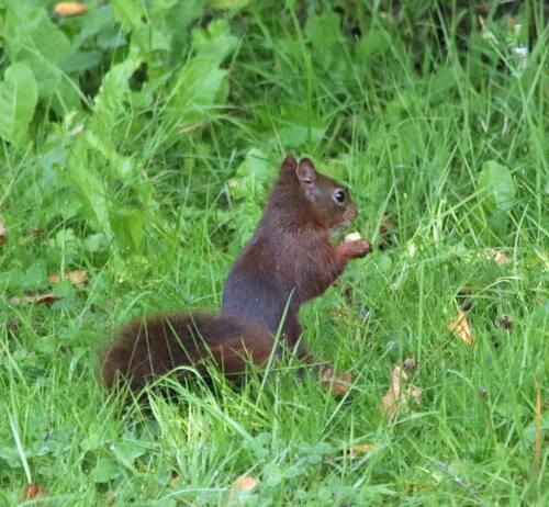 Ecureuil qui fait des acrobaties dans un noisetier