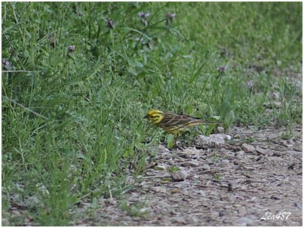 Oiseaux-3-5568-bruant-jaune-male.jpg