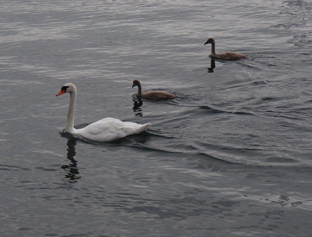 Cygne et ses cygnons sur le Lac Léman...