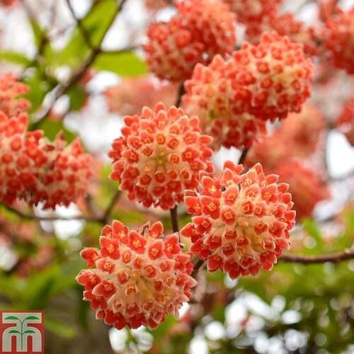 Fleurs cultivées : Edgeworthia
