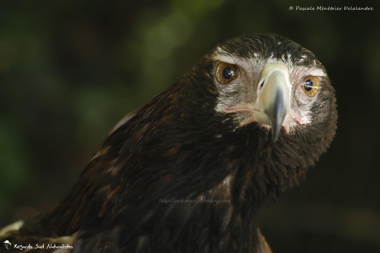 Aigle d'Australie (L'aigle audacieux ou aigle d'Australie ou uraète)