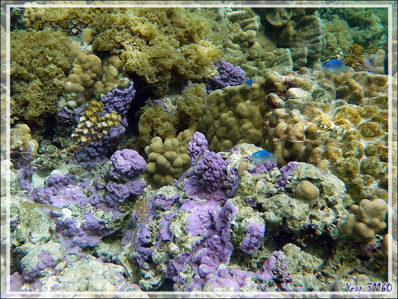 Corail violet et Demoiselle de Brownrigg, Surge damselfish (Chrysiptera brownriggii) - Jardin de Corail - Motu Tautau - Taha'a - Polynésie française