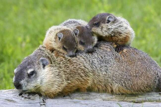 Photos de Famille de Marmottes