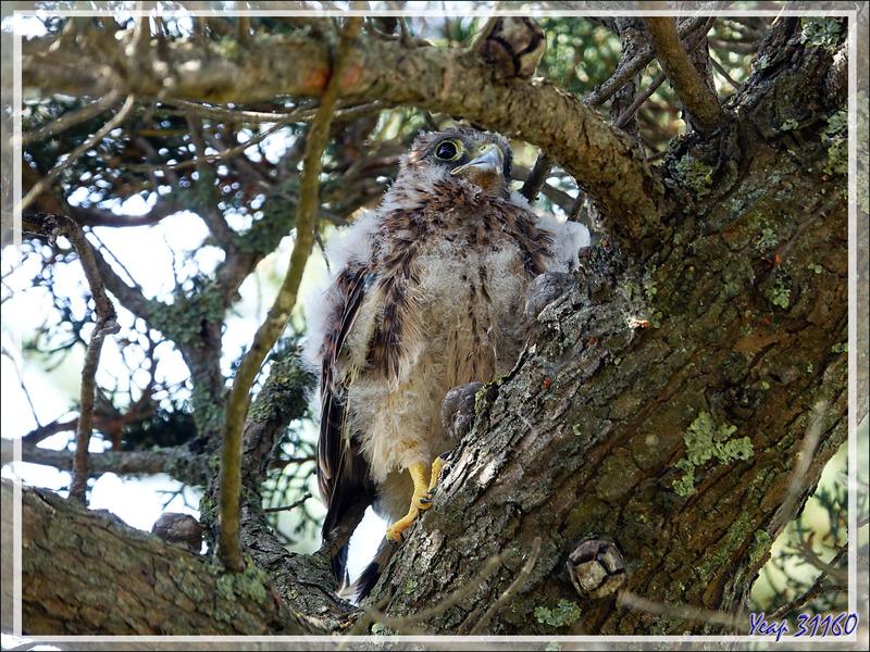 Gros poussin d'Emouchet ou Faucon crécerelle, Common Kestrel (Falco tinnunculus) - La Couarde-sur-Mer - Ile de Ré - 17