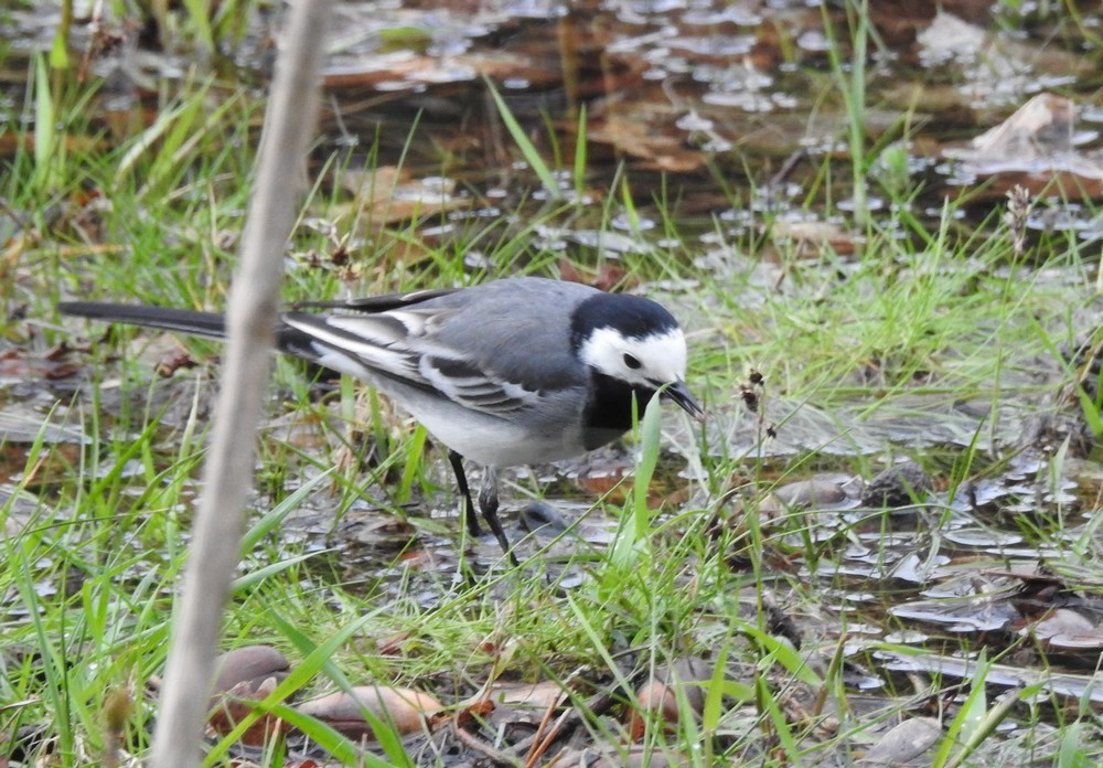 Les oiseaux de mon jardin : les bergeronnettes...