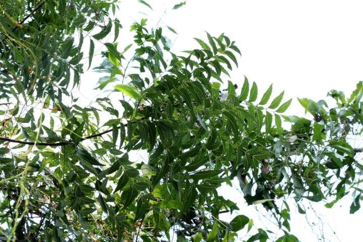Neem arbre ayurvédique qui guérit tous les maux (Plantes et Santé)