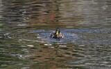 Canard colvert - p303