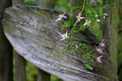 Clematis flammula triternata rubromarginata : retenez bien son nom !