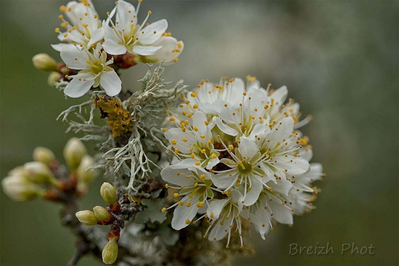 cerisier en fleur etang du grand loc'h