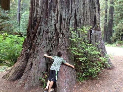 Patrimoine mondial de l'Unesco : - Le parc national de Redwood - Etats-Unis