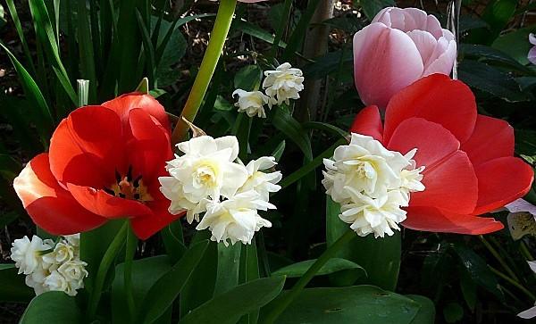 Narcisses-Bridal-crown--tulipes-23-03-004.jpg