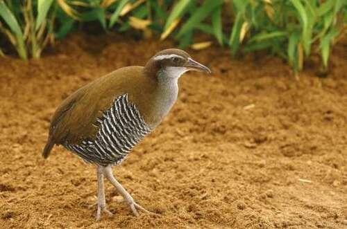 Râle de Guam (Gallirallus owstoni)