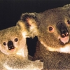 wallpapers_tiere_animals_koala_bearen_001