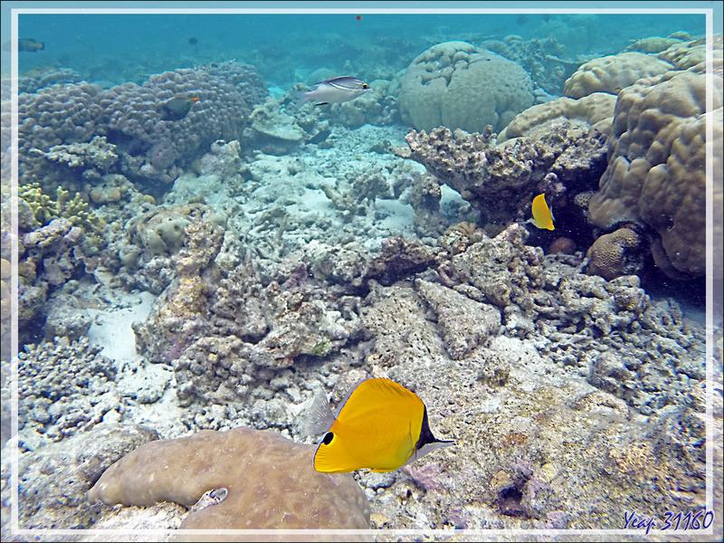 Snorkeling : Poisson-pincette jaune, Chelmon à long bec, Longnose butterflyfish (Forcipiger flavissimus) - Moofushi - Atoll d'Ari - Maldives