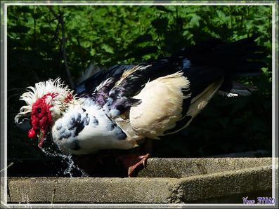 Le bain du canard de Barbarie - Aspet - 31