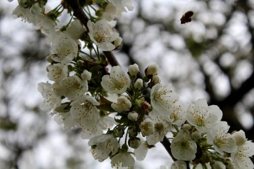 M le cerisier, symbole du jardin