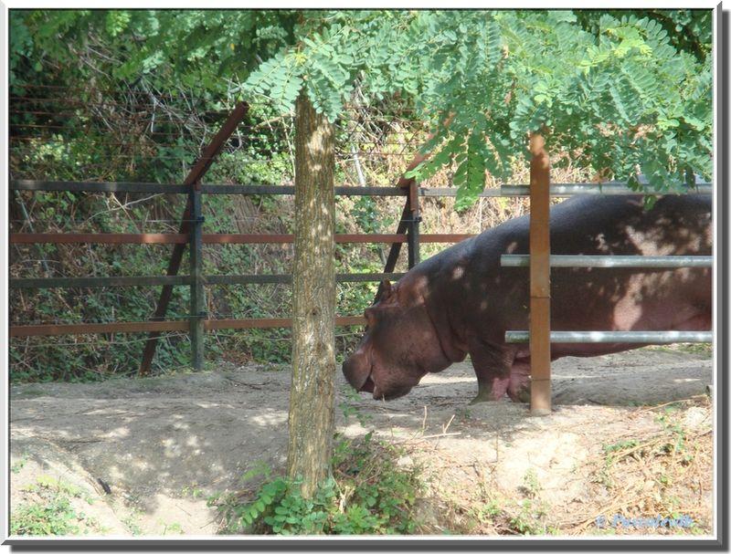Hypopotame3