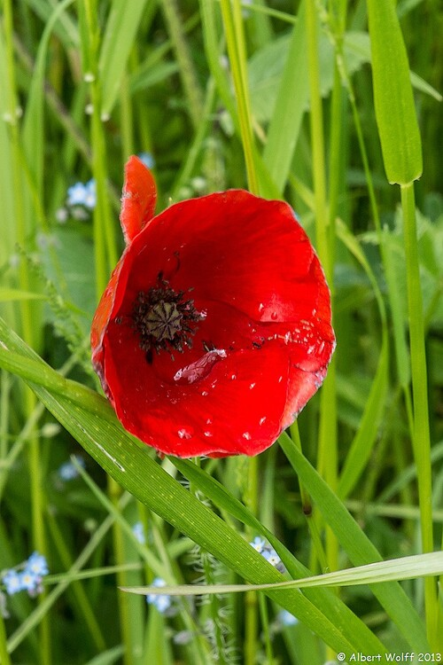 Gentils coquelicots, mesdames...