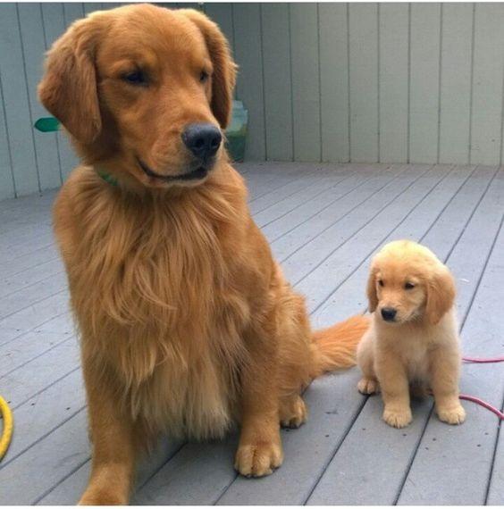 Parents Golden et leurs bébés!!