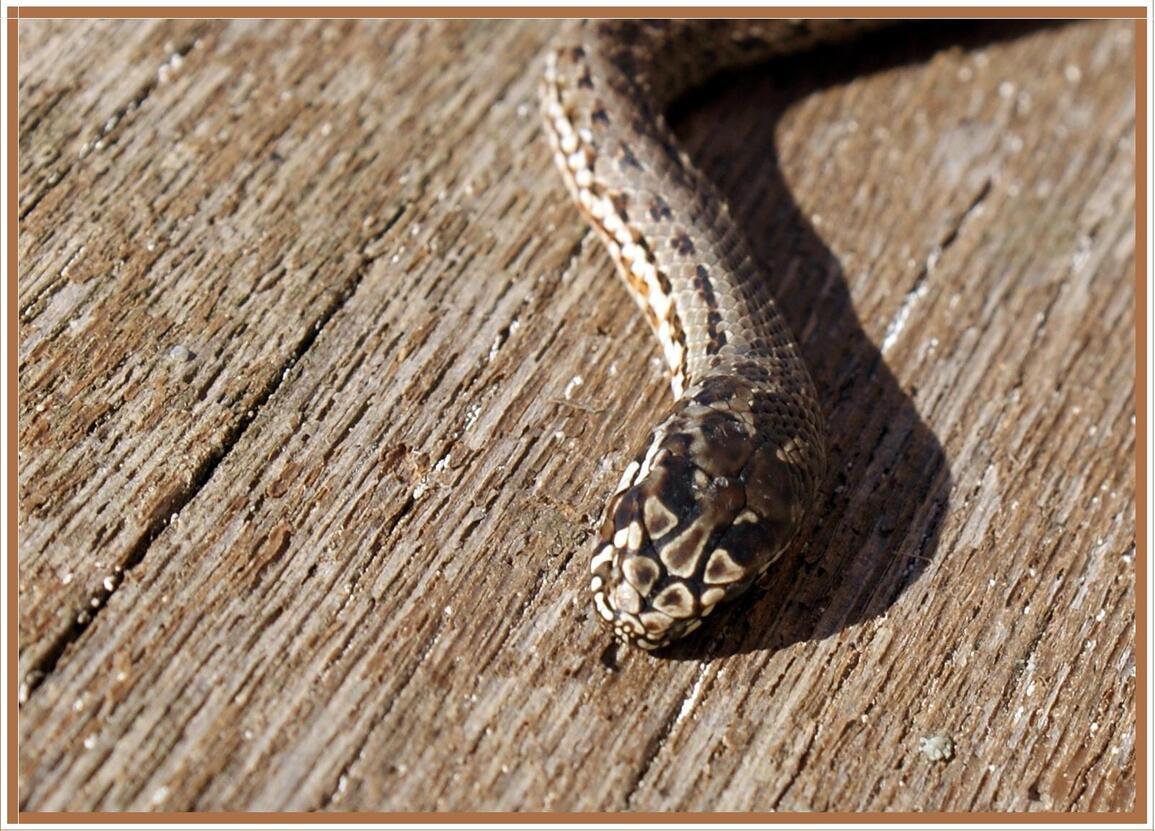 Serpent tué par les chats