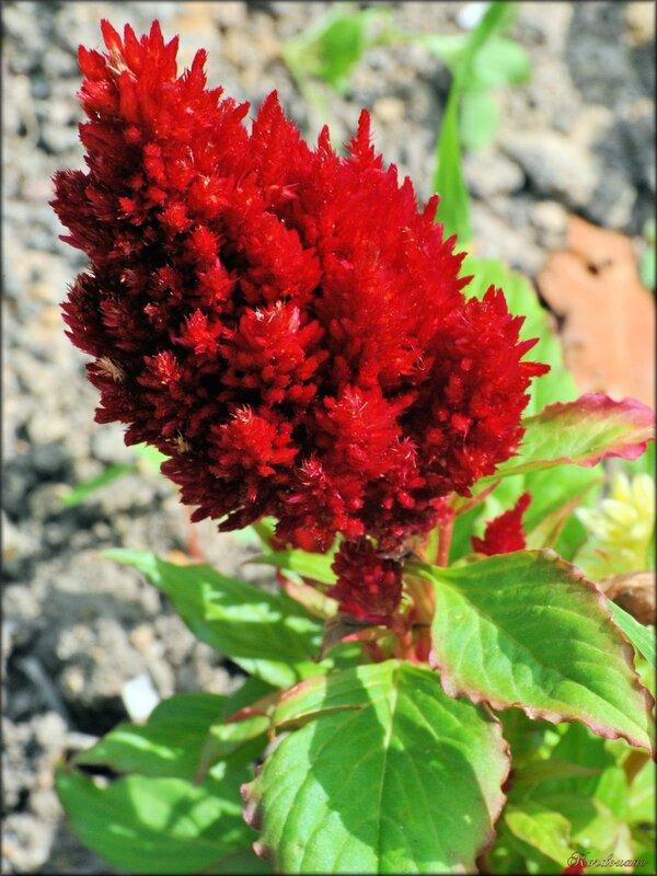 Photo de célosie (célosia-plante-fleur)