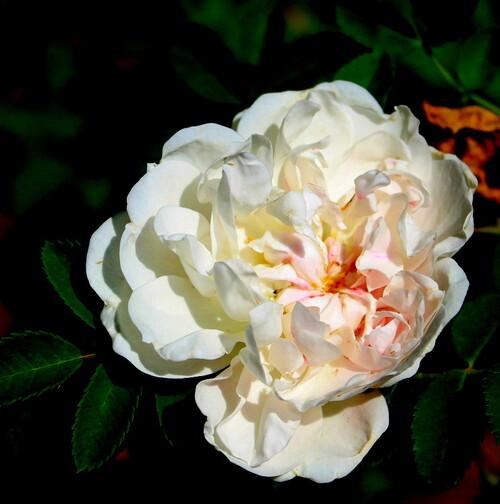 Les roses parfumées