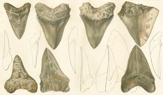 carcharodon_megalodon_tafel29-fig.1-7