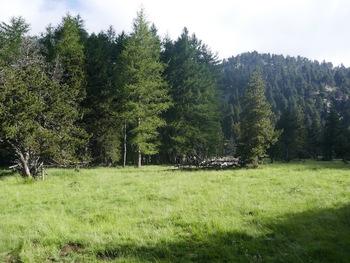 Le bois d'épicéas et de mélèzes