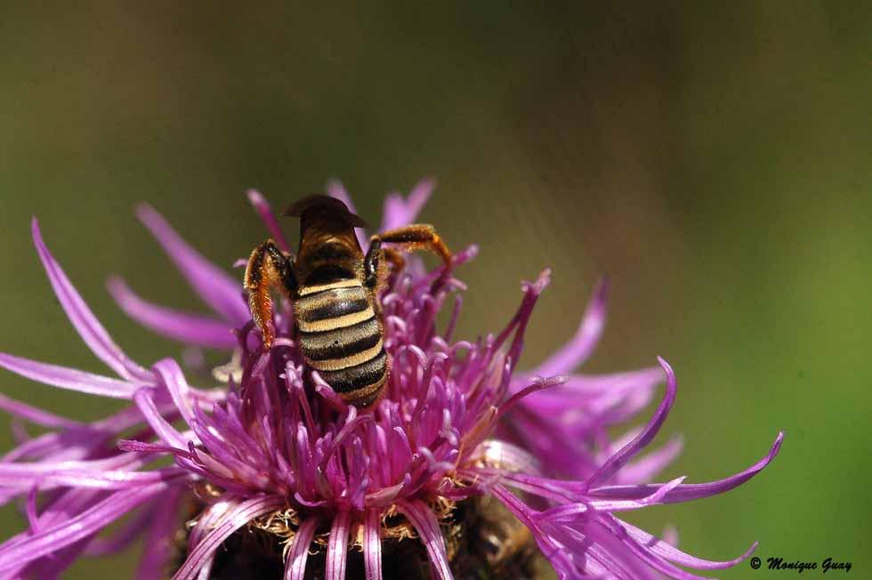 Zoom sur une abeille ouvrière