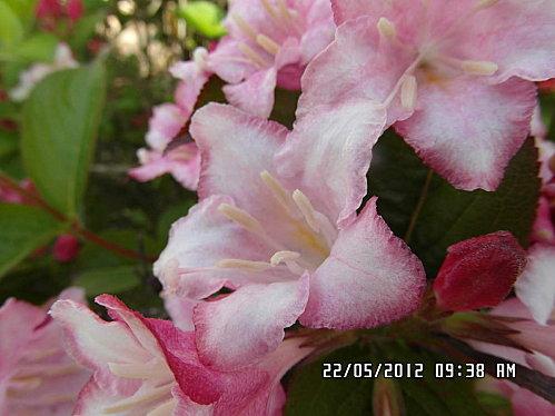 fleurs-22-Mai-011.JPG