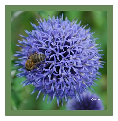 Echinops-abeille.jpg