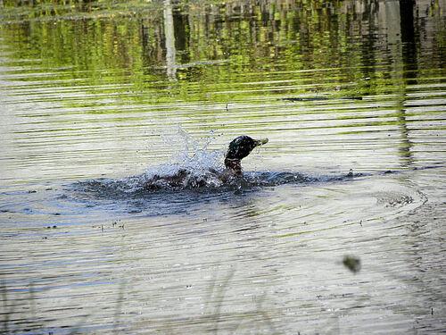 Les canards du parc