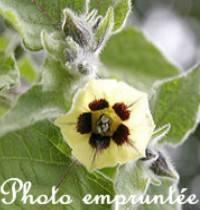 fleur-physallis.jpg