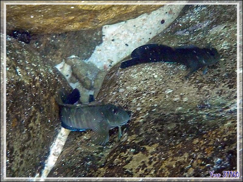 Blennie Salarias brun, Black blenny (Atrosalarias fuscus fuscus) - Nosy Tsarabanjina - Archipel des Mitsio - Madagascar