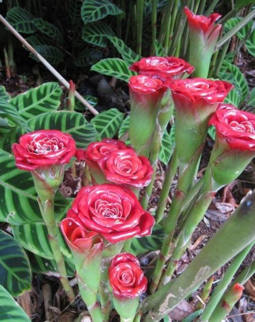 """"""""""" Une autre variété. : Roses du Siam."""""""""""
