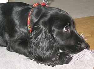 English Cocker Spaniel 28 Dec 2003